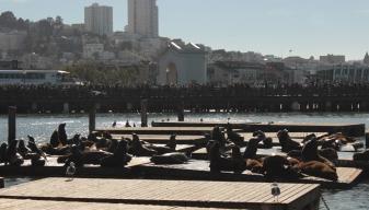 Lions de mer vue du Pier 39