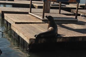 Lion de mer vue du Pier 39
