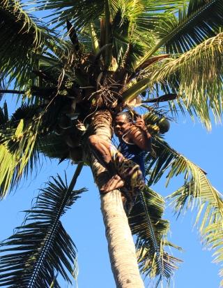 Neson en haut du cocotier
