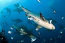 Requin au Bistro