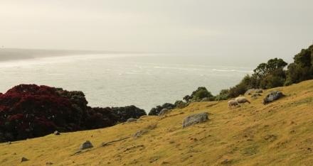 Moutons du Mont Maunganui