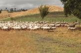 les chiens de Berger réunissent les moutons