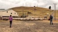 les moutons avant le lavage