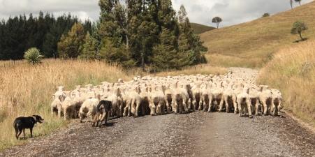 On course les agneaux
