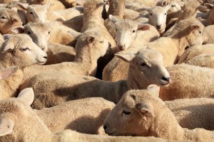 Les agneaux, avant de leur donner des traitements