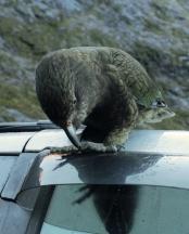 Kea sur notre toit de voiture