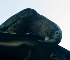 Un Kea curieux