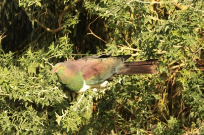 le pigeon Neozélandais