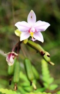 orchidée sauvage au parc de la rivière bleue