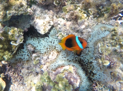 Poisson clown et son anemone