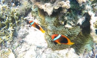 Poissons clown et leur anemone