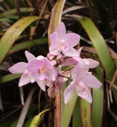 Fleur endemique du Mont Garet