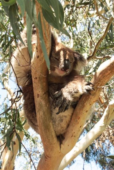 Koala endormie