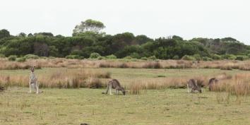 Kangourous - Wilson Promontory
