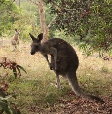 kangourou - buchan