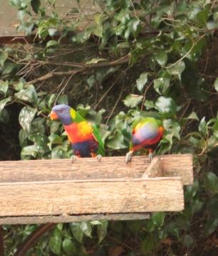 perroquet - en route pour Narooma