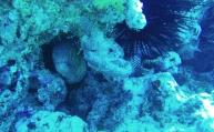 Une murène - plongée