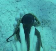 Petite pieuvre - plongée