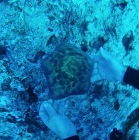 Une grosse etoile de mer appelé Pillow shark's - plongée