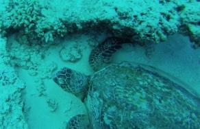 Tortue de mer - plongée