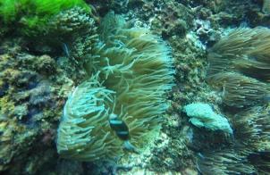 Anemone et poisson clown durant une plongée