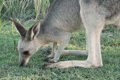 Kangourous - Straddie