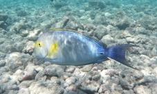 poisson chirurgien - Baie de Hanauma