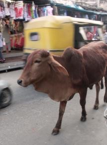 une vache passe dans la rue