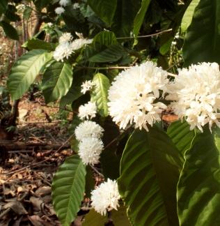 Caféiers en fleurs